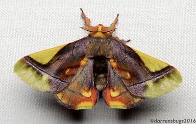 Epia muscosa (Bombycidae) from Belize.