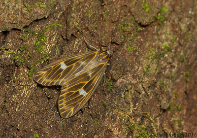 A well-camouflaged prominent moth (Notodontidae: Dioptinae: probably Polypoetes sp.) from Monteverde, Costa Rica.