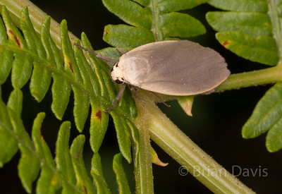 Dingy Footman Moth