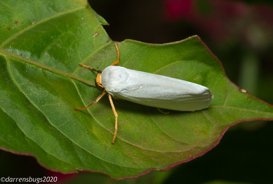 A unique white moth with orange legs from Monteverde, Costa Rica.