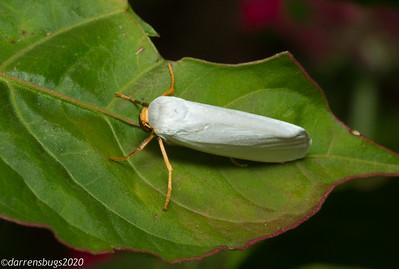 A unique white moth with orange legs from Monteverde, Costa Rica.