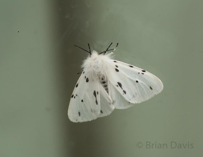 White Ermine 1