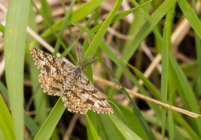 Common Heath Moth