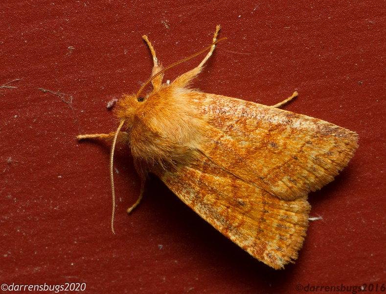 Owlet Moth (Noctuidae: Pyreferra pettiti) from Iowa, USA.