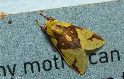 Erebid moth, Symphlebia sp (Erebidae: Arctiinae) from Monteverde, Costa Rica.