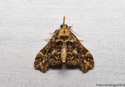Grass moth (Crambidae: Acentropinae: Petrophila sp.) from Belize.