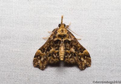 Grass moth (Crambidae: Acentropinae: Petrophila sp.) from Belize.