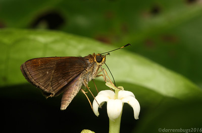 A skipper butterfly, family Hesperiidae, feeds on nectar in Belize. Skippers are distinguished from other butterflies by their hook-shaped antennae, as well as their relatively stocky bodies and short wings.