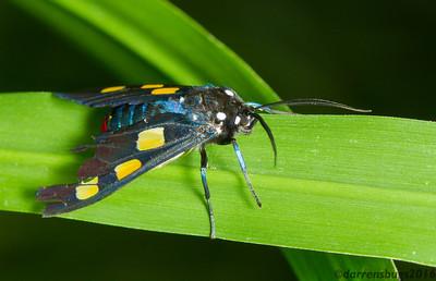 Footman Moth, Procalypta victorina, from Monteverde, Costa Rica.
