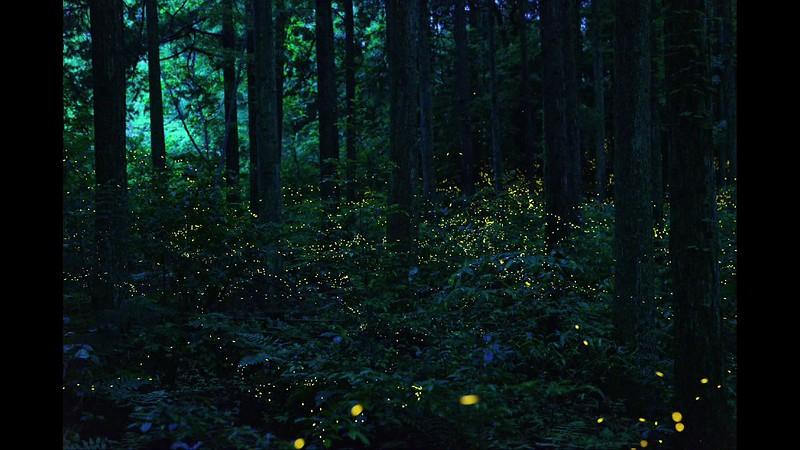 森の中を飛び交うヒメボタル, 比較明合成による動画