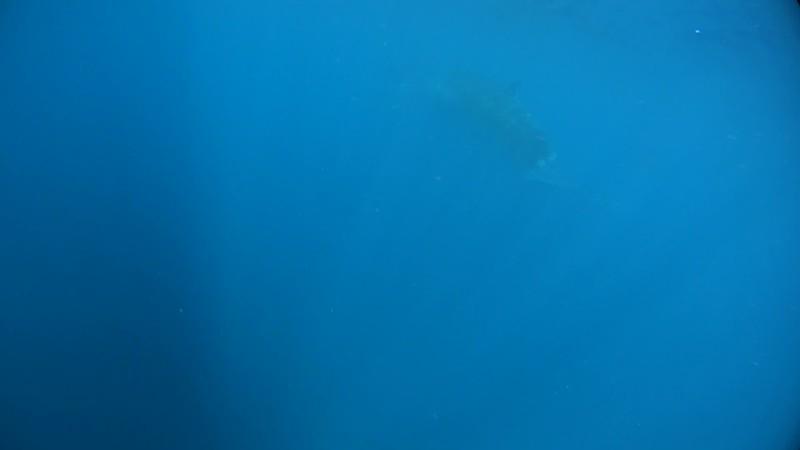 土佐湾のニタリクジラ(水中撮影)