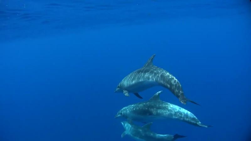 土佐湾のハンドウイルカ
