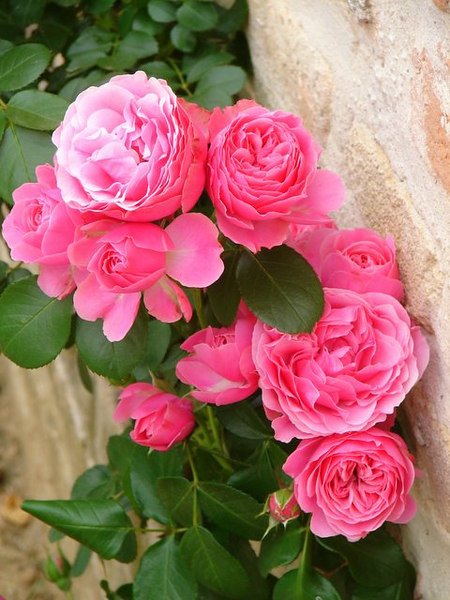 Roses here in summer are everywhere....
