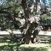Old oak, Vernon Richards Riverbend Park, Smithville TX