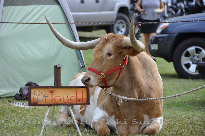 "This longhorn is a ""rider"", the guy that owns him rides him right thru the crowd, with the steer dipping and turning his head to keep the horns clear of people"