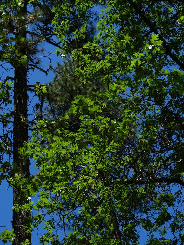 Light on the oak leaves