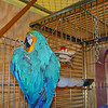 Billy, the Macaw.  Billy is molting, shedding his winter coat for a fresh summer one ...so he looks a little ratty.
