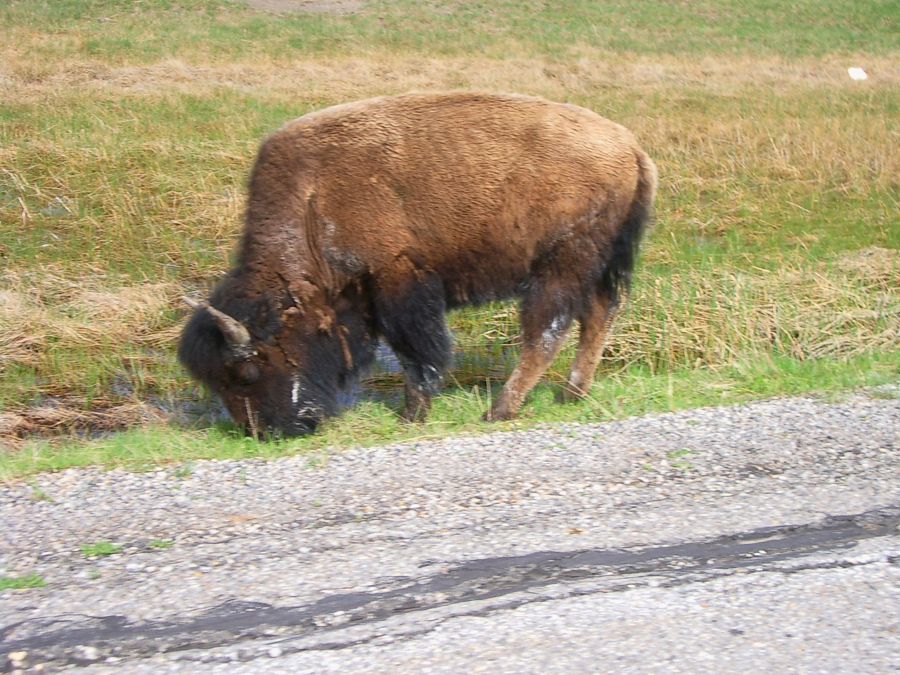 This is slightly out of focus because I shot this while in motion riding by. This guy had just strolled across the road.<br /> <br /> There were signs up about the bison being unpredictable and at times charging people, so being only about 10 feet away, I had one hand on the throttle ready to speed up and get out of there fast!