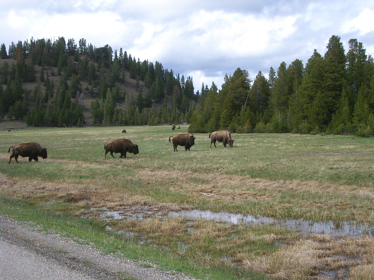 In a couple of pastures, there were herds of bison.