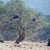 goats can climb trees