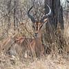 large Springbok