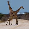 Giraffe tango at Etosha, Namibia