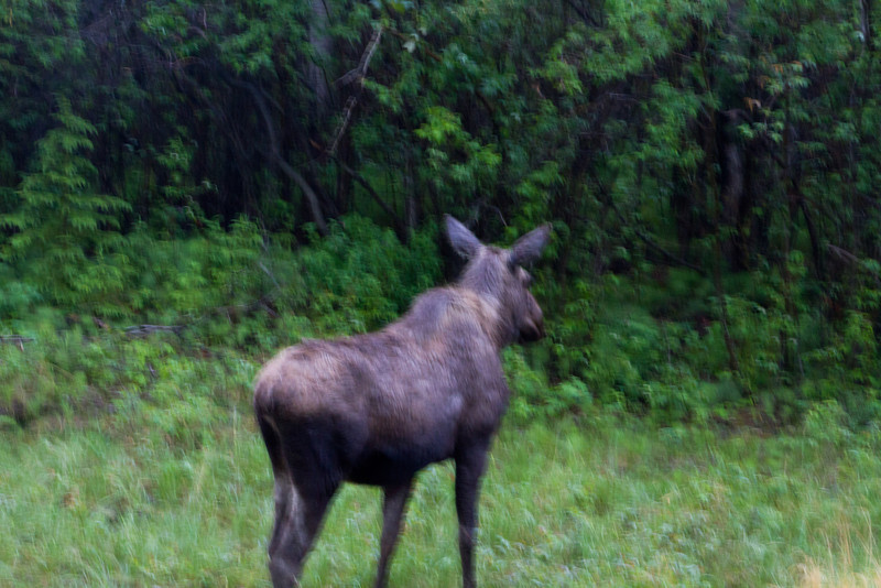 British Columbia - World's worst moose picture