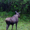 British Columbia - World's worst moose picture