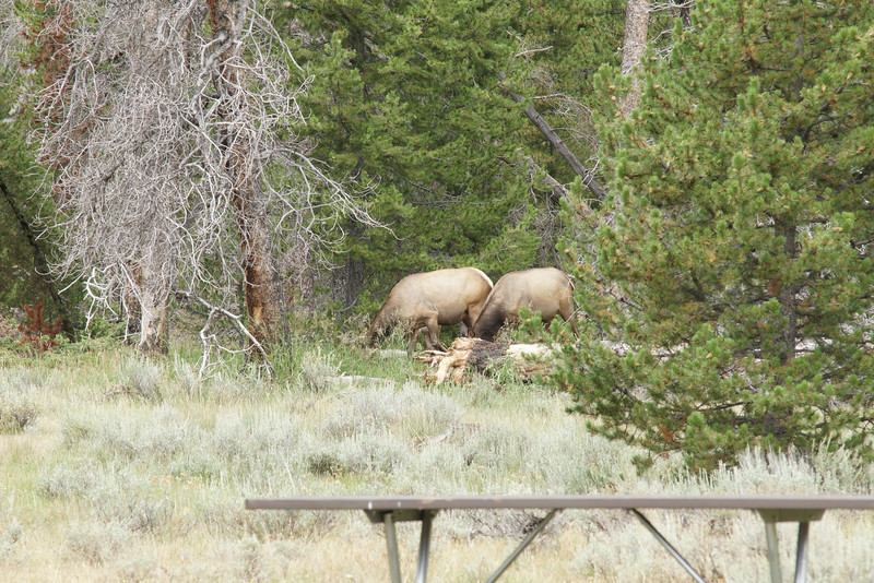 .....our visitors.  About 20 elk with calves.