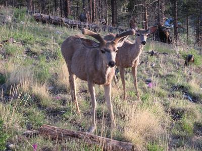 Mule deer in Francis front yard.