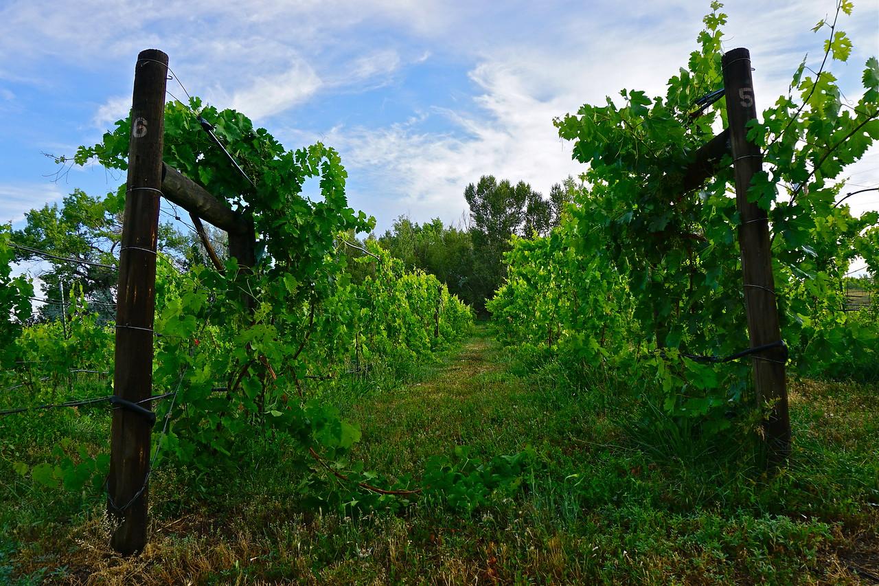 Vineyard @ Big John Davis
