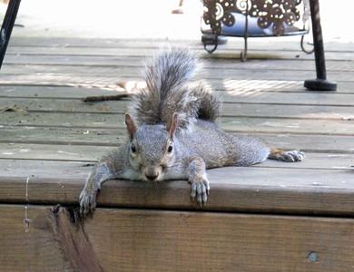 GSM moto squirrel.