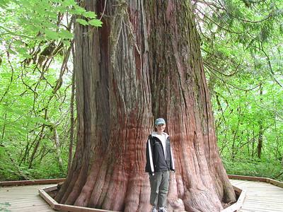 1000 year old cedar