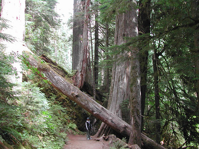 Washington big cedars,furs and hemlocks.