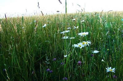 Wild Flowers (clover & shasta daisey)