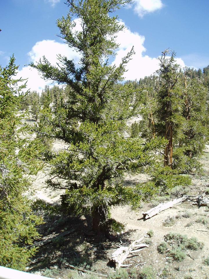 Bristle Cone pines.