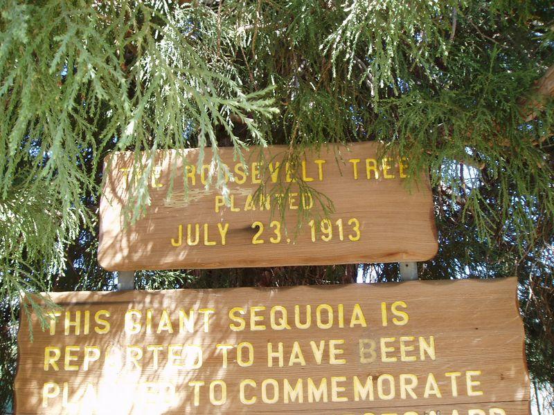 Big tree, at Big Pine.