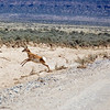 The antelope on the other hand run away, then turn and try to out run you.  I know they can go at least forty mph.