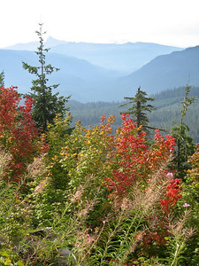 The vine maple is already starting to turn color at higher elevation.