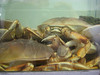 Neptunes Net Crab