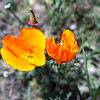 the golden poppy is out in full bloom.