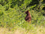 Black Bear near Waterton Lakes National Park