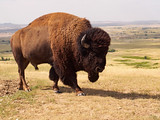 Bison in the Badlands