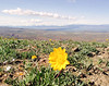 Hairy Balsamroot flower Umtanum Ridge