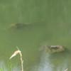 Submerged stumps in Alder Lake.