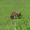 Buffalo just outside of Eatonville on the Alder Cutoff Road.