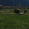 Musk Ox in a preserve SE from Anchorage