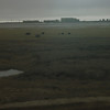 Muskox in a field at PRudhoe Bay.