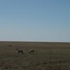 Carribo on the Tundra.