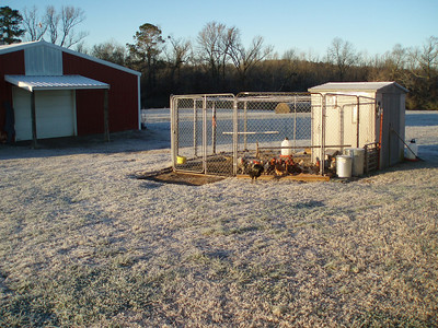 Here's a shot of the roosters hangin' around the hen house.